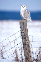 Snowy Owl On Post III