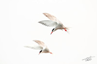 Two Terns