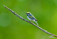Goldean-winged Warbler
